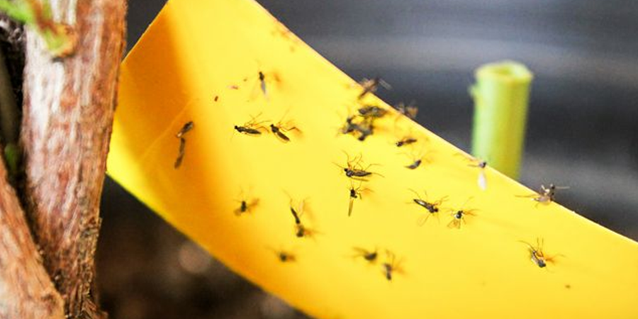 How-to-Get-Rid-of-Gnats-With-Dawn-Dish-Soap